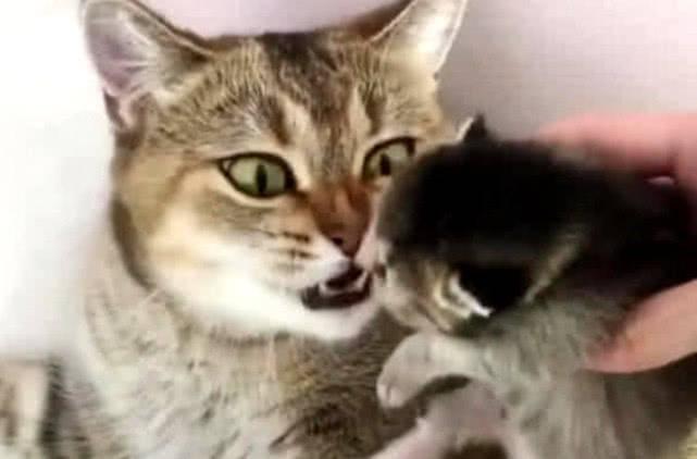 原创 趁猫妈不注意偷拿小猫,发现后猫妈神情大变:铲屎的,放下我娃