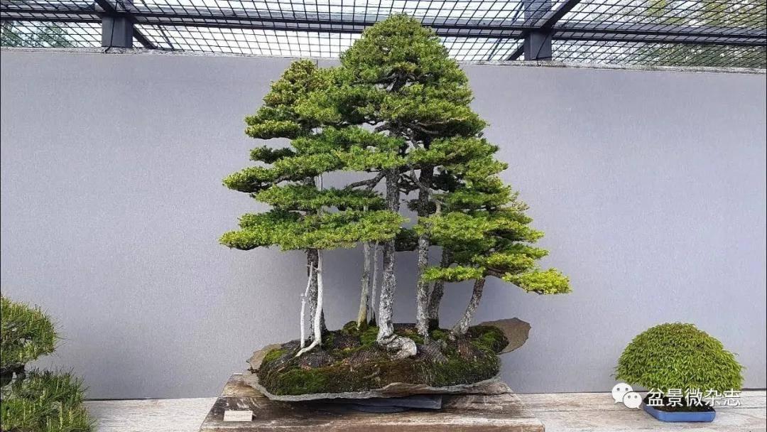 """""""主、从、次""""三木成林,玩转丛林式盆景的"""""""