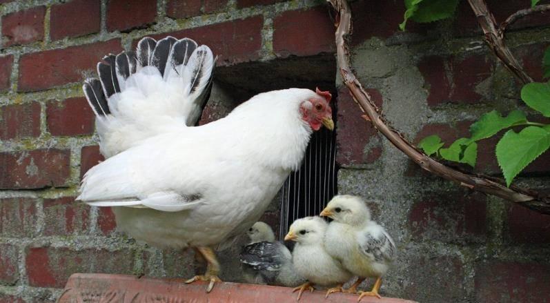 美农场近14万只母鸡面临安乐死,滞销对农业到底有多大影响?_牛牛百人版