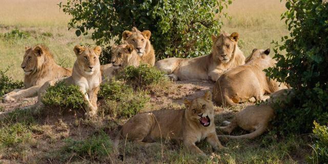 """狮子都过着群居生活?科学家发现数十只""""独居狮"""",习性类似老虎"""
