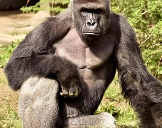 """原创 泰森因不爽被猩猩""""看扁"""",行贿管理员要求跟猩猩单挑,效果若何"""