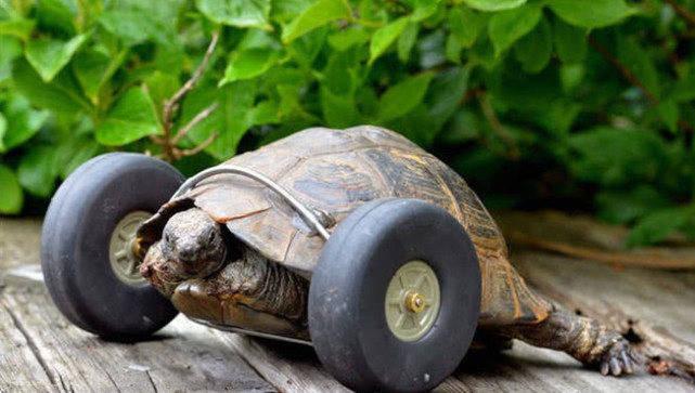 原创 乌龟玩耍被狗狗咬断腿,主人给它做了个轮椅,现在走路快到带风