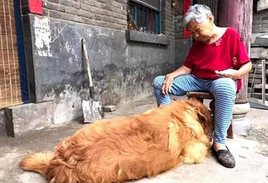 原创 送金毛给家里老人作伴,有时看到这个画面,主人马上一把心酸泪