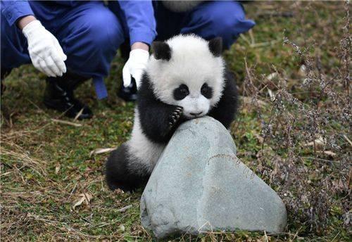 84年前,那个2次将熊猫从中国偷走的美国女人露丝,最后结局凄凉