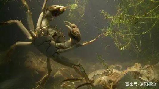 逐浪阳澄湖大闸蟹好吃的原因(图4)