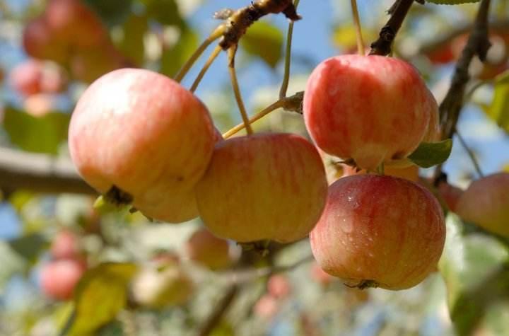 木瓜海棠果复合饮料配方技术的研发