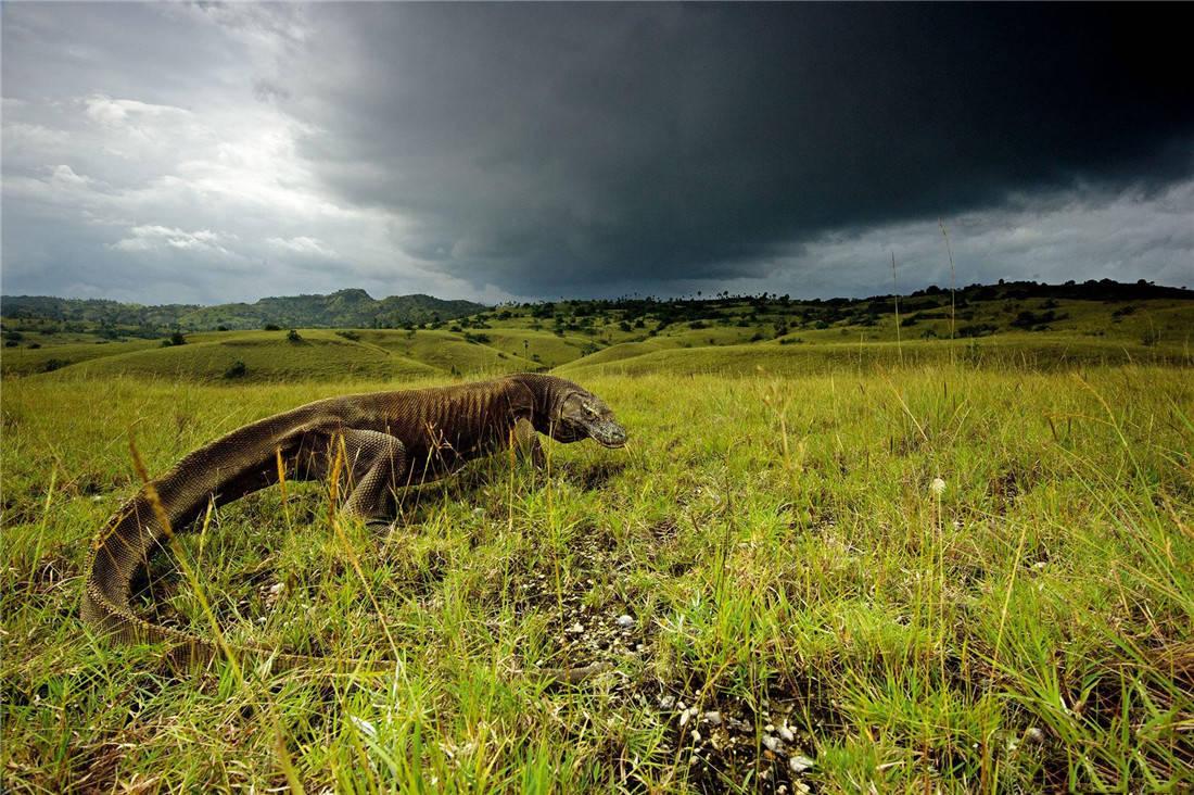 活了4000万年的科莫多龙,能轻松捕食大水牛,20分钟吃掉62斤野猪 (图1)