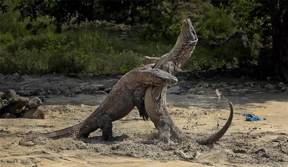 活了4000万年的科莫多龙,能轻松捕食大水牛,20分钟吃掉62斤野猪 (图7)