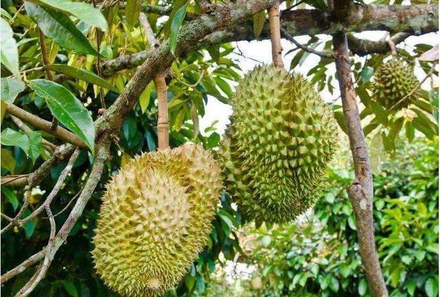 这种水果多数又贵又难吃,被公认最难吃的水果,全吃过绝对是高手!