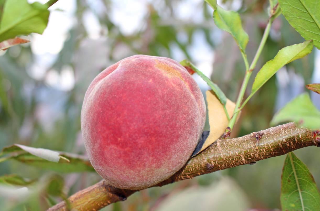 桃子味道鲜美,营养丰富 优质猕猴桃树苗