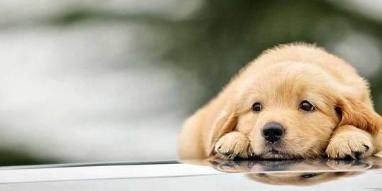 这条狗与新主人有一种距离感。我们怎样才能改进它呢? 狗狗尿道口有黄脓