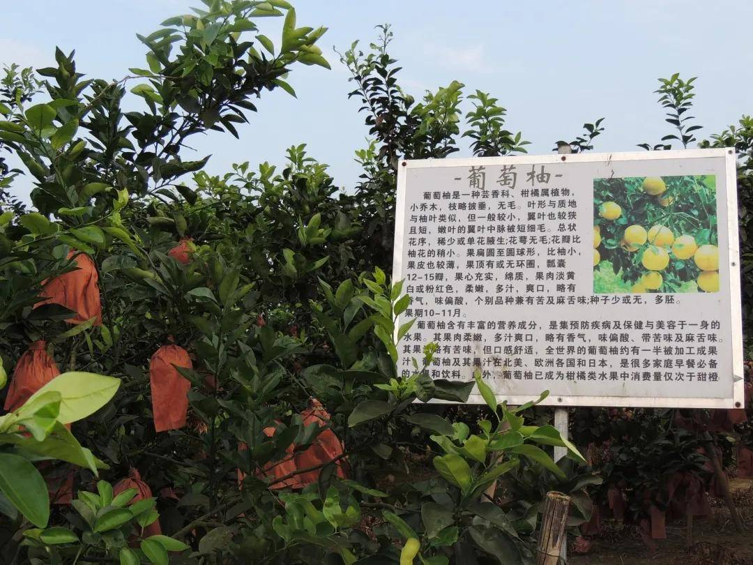 柚子采摘园