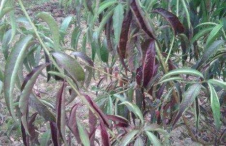 秋季果树用哪种磷肥好?