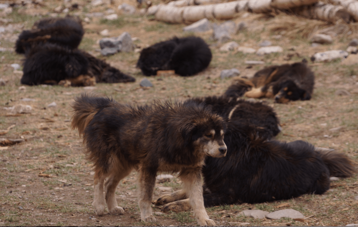 恒达官网数万藏獒流浪在藏区:攻击儿童、围攻雪豹 九成当地人反对捕杀(图2)