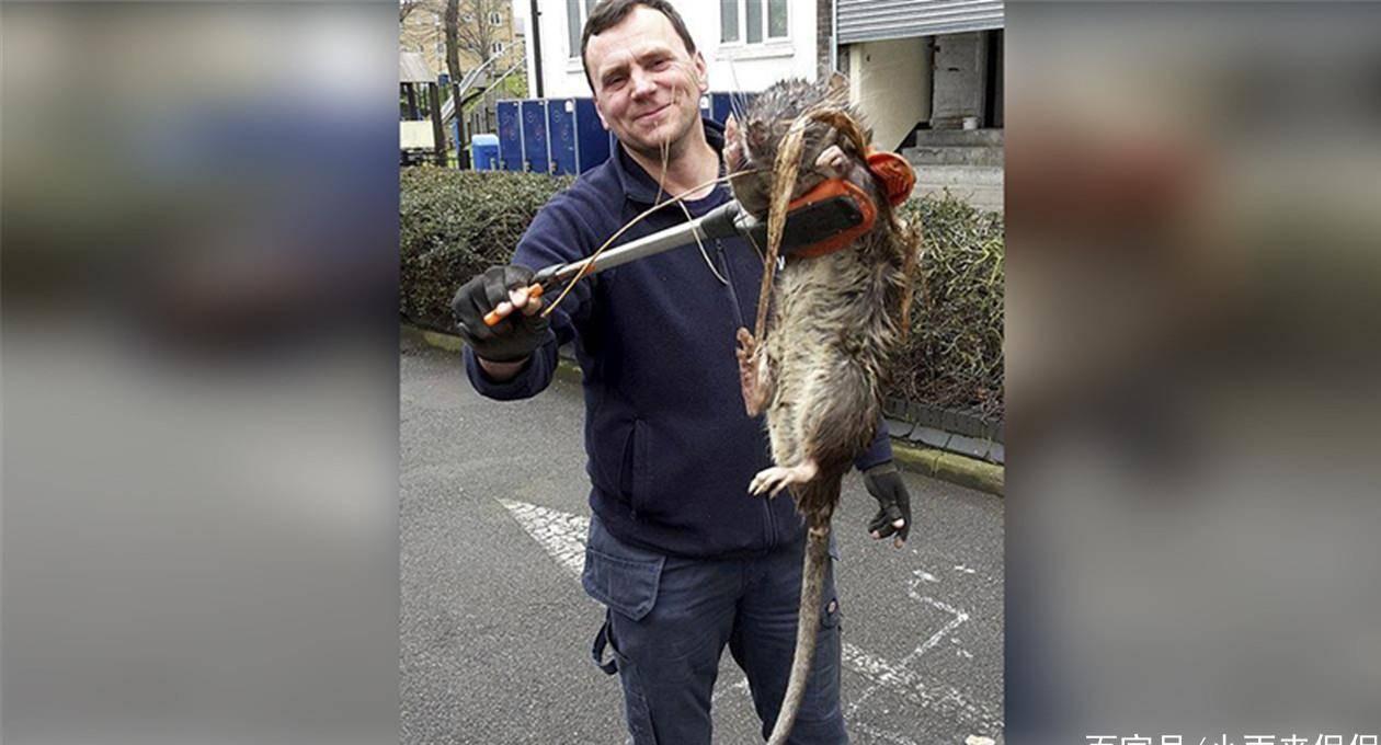 核輻射威力有多大?切爾諾貝利出現變異巨鼠,牙齒尖銳身長半米!