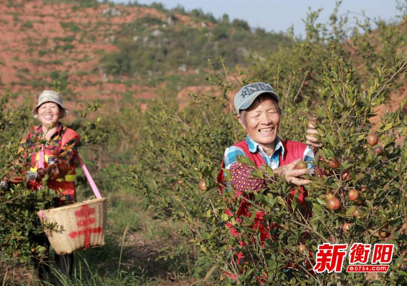 祁东县16万亩油茶丰收 助1.2万多名贫困村民增收致富