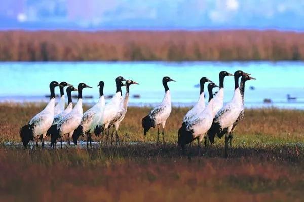 威宁草海迎来黑颈鹤、灰鹤、斑头雁、骨顶鸡等越冬候鸟6.6万余只