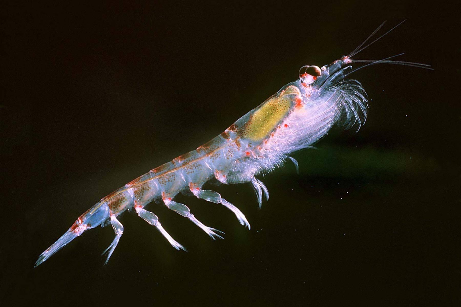 南极磷虾图片