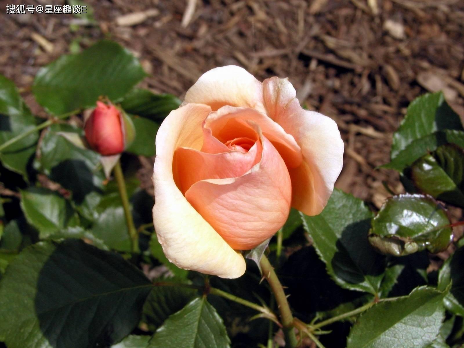 动漫玫瑰花图片