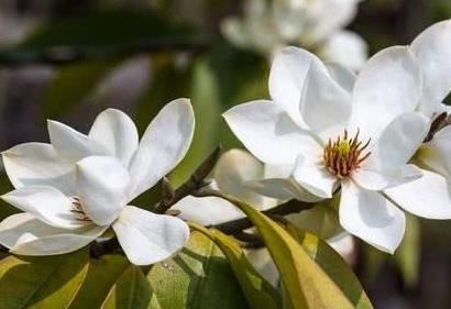 含笑花如何家庭养护最好?只需注意以下4点,含笑花香幽若兰