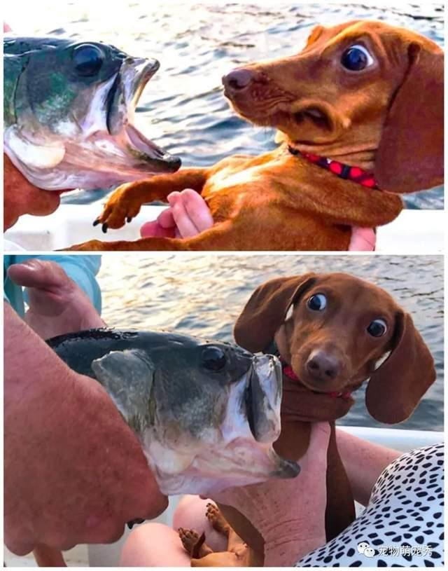 Doggo的眼睛亮了!弱问:食人鱼不应该吃狗吗?o8i