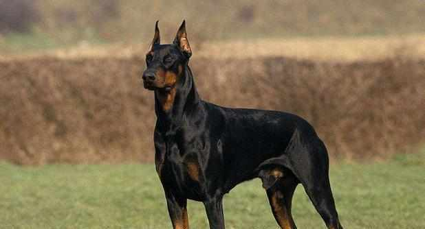 宠物小知识:哪种狼狗打得过德国牧羊犬?为什么?看完后明白!