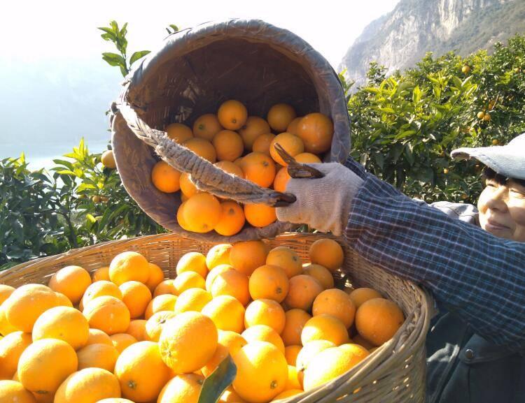 秭归桃叶橙进入华东、华北水果市场
