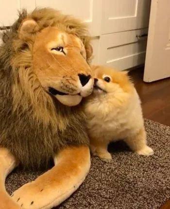 给家里的小博美买了只假狮子,还以为它会畏惧效果......