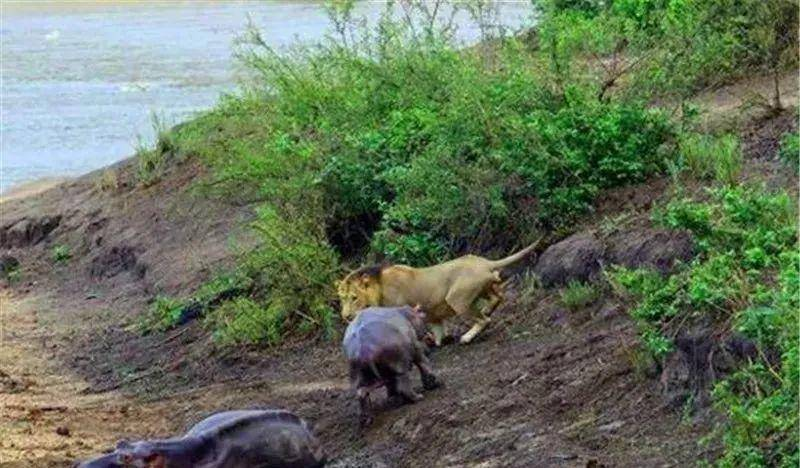 两只河马正在睡觉,狮子刚准备偷袭正赶上小河马醒了,这了局!