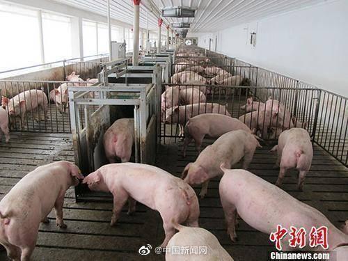农业农村部:违规调运生猪发病死亡不予补助