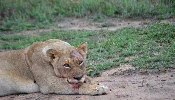 母狮为了孩子平安,拼死跟花豹厮杀,但最终却被二哥捡了个大便宜