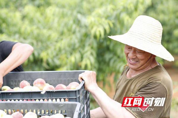 衡山縣:又是一年豐收季 正是脆桃采摘時