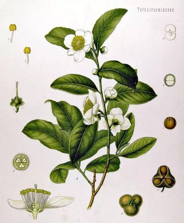 茶叶是怎么分类的?一图读懂现代茶叶分类方法图解