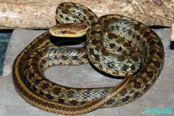 【从零开始养】白条锦蛇基础饲养指南 (图7)