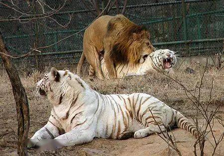 狮子一样平常打不过老虎就算了 然则论奔跑速率谁更胜一筹