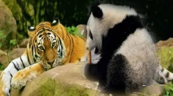 狮子和老虎为何不敢吃大熊猫?熊猫:别忘了我以前叫啥