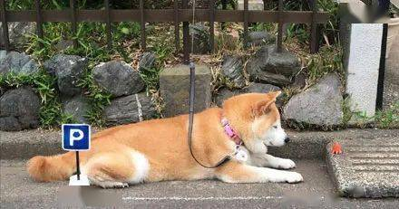 主人给狗子画了一个迷你停车位,可狗子的停车手艺着实太差,笑喷了!