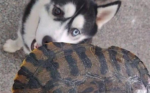 原创 二哈拿家里乌龟磨牙,事后还一脸傲娇嘚瑟,主人看到这幕想炖狗肉