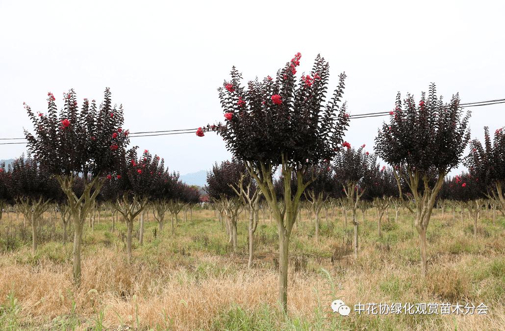 中国花卉协会绿化观赏苗木分会赴嵊州调研苗木产业