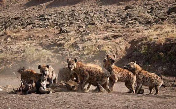 鬣狗惨遭野狗围攻,舍去孩子逃命,这就是动物特征,孩子都不要了