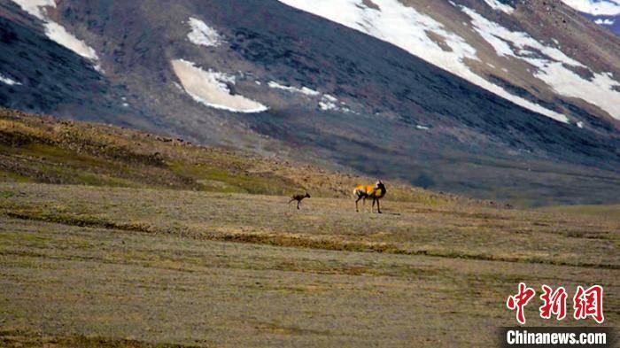 新疆阿尔金山国家级自然保护区两万余头藏羚羊进入产羔季