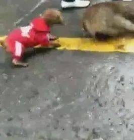 野猪被主人绑地上,泰迪狗仗人势,咬到野猪痛哭大叫