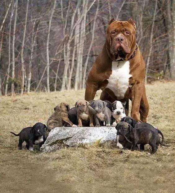 美国恶霸犬与比特犬是同一种犬吗?其实恶霸犬并不恶图片