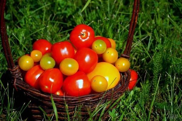 西红柿别名番茄,居然有这么大功效?看完真是小看它了