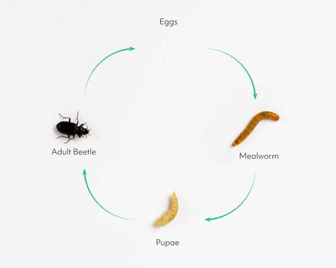 《【天富公司】谁说只有贝爷才能吃虫子?现在你也可以在家自己养虫子吃了!》