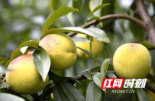 隆回大水洞村:黄桃初熟 销售成难题