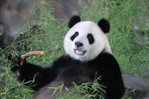【探索】上海野生动物园的10月龄熊猫宝宝征名啦!