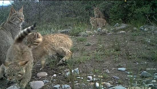 罕见!祁连山国家公园青海片区再次拍到五只荒漠猫同框  span class=