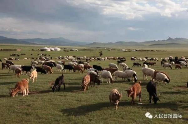 """蒙古国的30000只羊要来了!""""个个膘肥体壮""""……""""BC体育游戏首页""""(图1)"""
