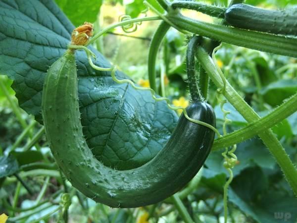 黄瓜营养丰富,但不能和此些食物一起吃,不妨了解一下